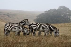 Hearst Castle Zebras
