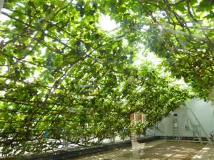 Hampton  Court - the Great Vine interior