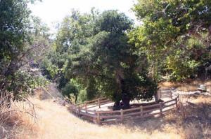 Oak of the Golden Dream 1
