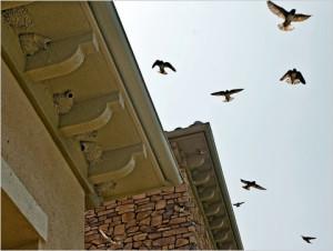 San Juan Capistrano swallows