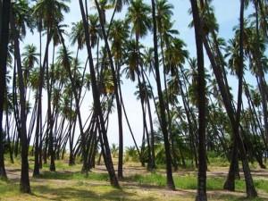 kapuaiwa_coconut_grove