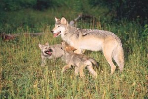 Lamar Valley wolves 1