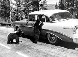 Yellowstone Bears 2