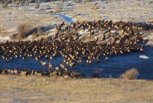 Yellowstone elk migration 1