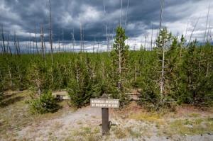 Yellowstone fire- regrowth